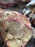 Byssomerulius incarnatus image