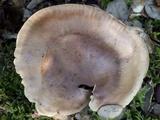 Tricholoma pessundatum image