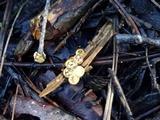 Crucibulum crucibuliforme image
