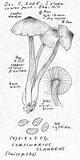 Cortinarius scandens image
