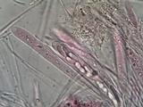 Microglossum nudipes image
