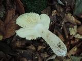 Russula ochraleucoides image