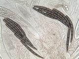 Geoglossum cookeanum image