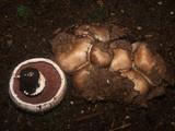 Agaricus bisporus image