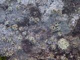 Rhizoplaca melanophthalma image