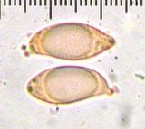 Aphelaria tuberosa image