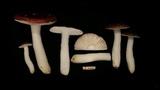 Russula atrorubens image