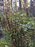 Pucciniastrum goeppertianum image