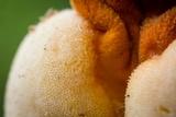 Ascopolyporus villosus image