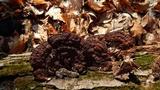 Phellinus gilvus image