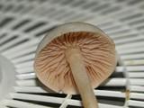 Entoloma sericellum image
