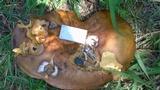 Phlebopus sudanicus image