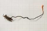 Cordyceps nutans image