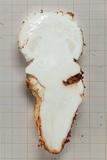 Amanita robusta image