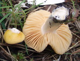 Russula acetolens image