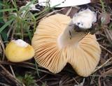 Russula acetolens image