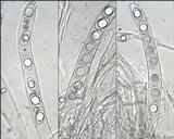 Geopora arenosa image