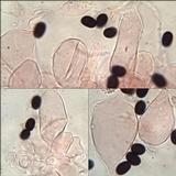 Coprinopsis foetidella image