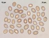 Cortinarius glandicolor image