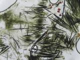 Hypomyces papulasporae image