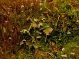 Arrhenia retiruga image