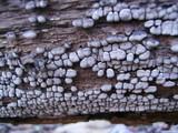 Xylobolus frustulatus image