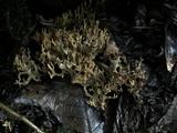 Ramaria abietina image