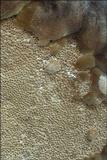 Phellinus igniarius image