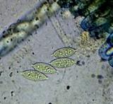 Peziza apiculata image
