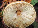 Lepiota magnispora image