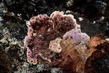 Punctularia atropurpurascens image