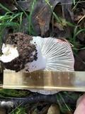 Russula cremoricolor image