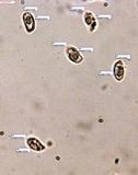 Ramaria apiculata image
