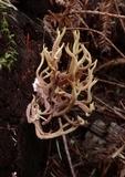 Ramaria rubella image