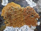 Caloplaca marina image