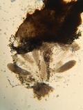 Podospora curvicolla image