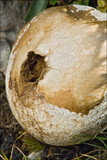 Lycoperdon excipuliforme image