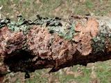 Phlebia acerina image