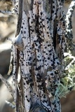 Image of Lecanactis californica