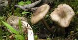 Entoloma turbidum image