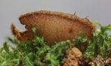 Genea arenaria image