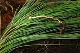 Ophiocordyceps gracilis image