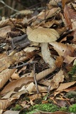 Leccinellum quercophilum image