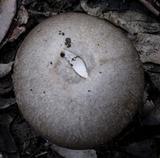 Amanita marmorata image