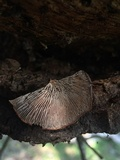 Lentinellus castoreus image