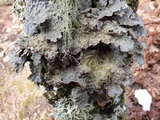 Lobaria scrobiculata image