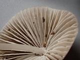 Mycena metata image