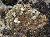 Cladonia magyarica image