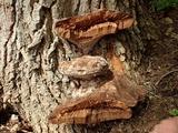 Fomitiporia robusta image