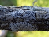 Rinodina oleae image